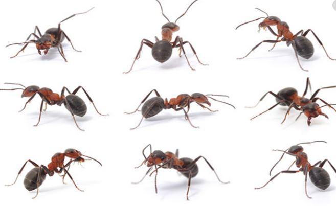 Semut Jantan