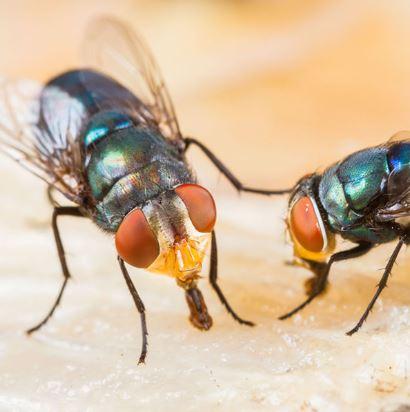 Tipe Mulut Lalat Penjilat
